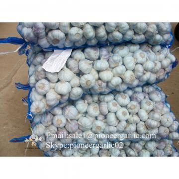 Producción del Ajo 5.5cm Elefante Ajo Gigante Violeta Cultivado en Jinxiang China