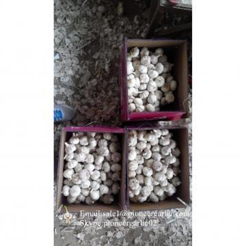 Ajos Frescos en Concerva en Cuarto Frío Empacado en Cajas de cartón de 5kgs