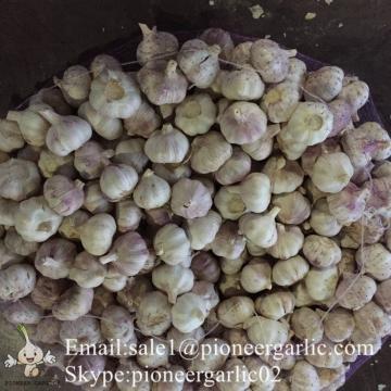 Ajo Fresco Morado Porducido en Fábrica de Jinxiang China Materia Ideal de Ajo Negro NutritivoAjo Normal Blanco Se Exporta a Centro América 5.0-5.5cm Súper Calidad
