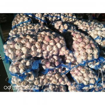4.5cm Ajo Fresco Violeta Empacado en Mallas de 10kgs Cultivado en China el Origen de Ajo