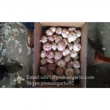 4.5cm Ajo Fresco Violeta Empacado en Cajas de 10kgs Cultivado en China el Origen de Ajo