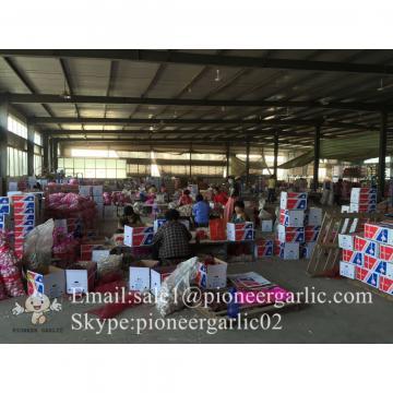 Ajo Fresco Chino Exportado a Centro América Empacado en Cajas de Cartón o Bolsa de Mallas
