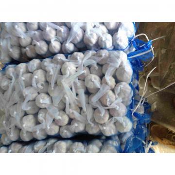 5.5cm Ajo Fresco Castaño Chino Empacado en Mallas de 10kgs