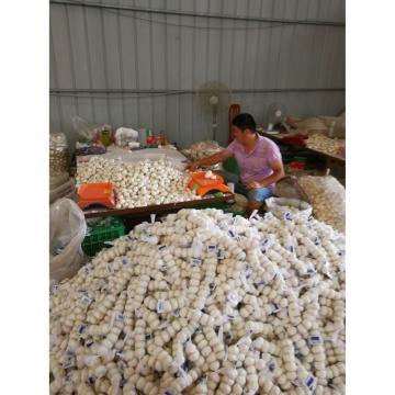 Diente de Ajo Cultivo en Jinxiang de 5.0cm Ajo Blanco Puro Empacado en Mallas de 10kgs