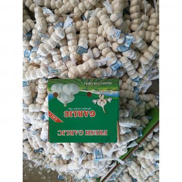 5.0cm-5.5cm Ajo Fresco Chino Morado para Ingrediente de Salsa al Ajillo Exportado a Países Centroamericanos