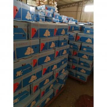 Ajo Rosado Concervado en Cuarto Frío Empacado en Cajas de Cartón de 10kgs