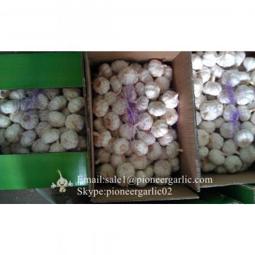 Ajo Violeta Calibre de 5.5-6.0cm Empacado en Cajas de 10kgs