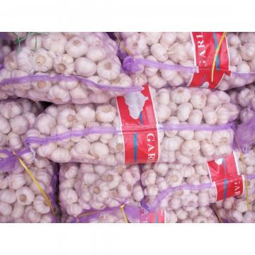 Ajo Morado Exportado a Ecuador Empacado en Mallas de 10kgs