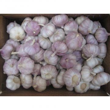 Ajo violeta de Calibre 5.0-5.5cm Cultivado en Jinxiang Shandong China