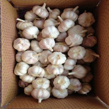Ajo Castaño de Calibre 4.5-5.0cm Empacado en Cajas de Cartón Exportado a América Latina