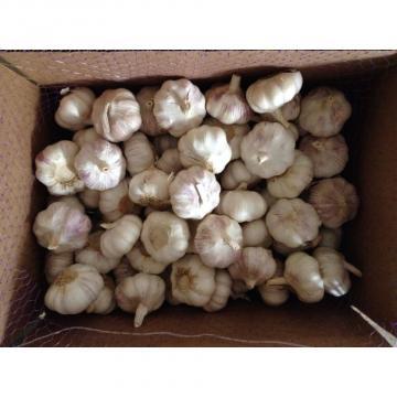 Ajo Fresco normal blanco Empacado en Cajas de 5kgs small packing