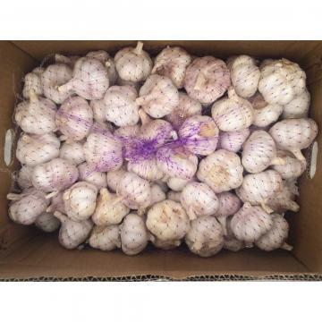 Ajo Exportado al Mercado Chileno Normal Blanco 5.0cm Empacado en Cajas de Cartón