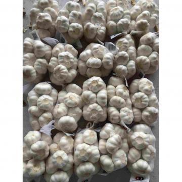 4.5cm Ajo Fresco Castaño Chino Empacado en Mallas de 10kgs