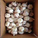 Ajo Violeta Normal Blanco Exportado a Chile Calibre 5.0-5.5cm