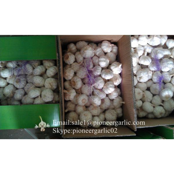 Ajo Violeta Calibre de 5.5-6.0cm Empacado en Cajas de 10kgs #1 image